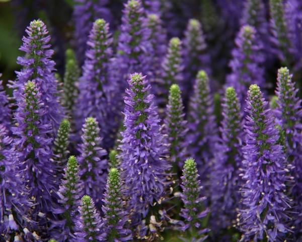 Flores de lavanda cabezaspcs provence romntico flor de for Fotos de lavanda