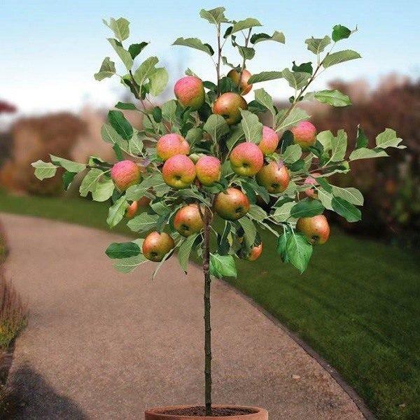 los cuidados del manzano - tendenzias