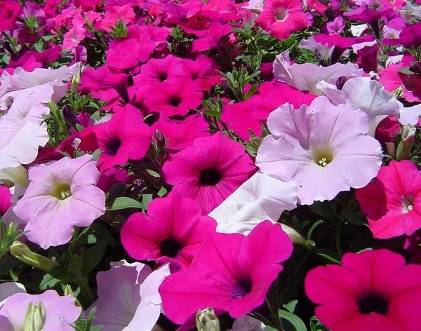 Cu les son las flores de verano - Flores de verano ...