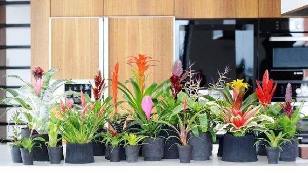 plantas-de-interior-con-flor-bromelias