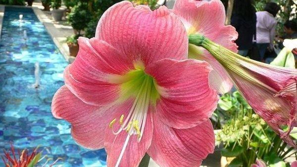 plantas-de-interior-con-flor-hippeastrum