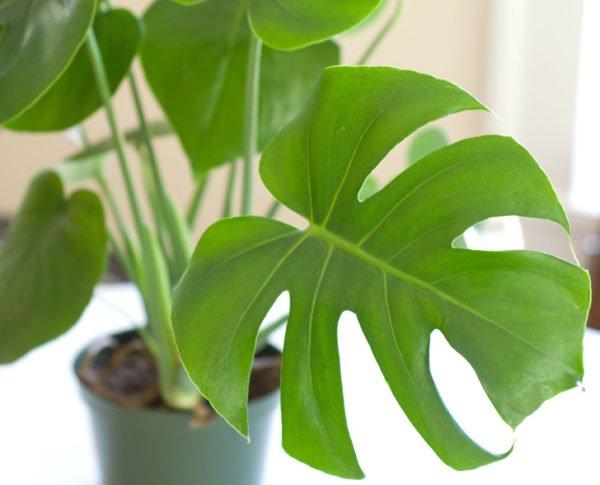 plantas-de-interior-philodendron