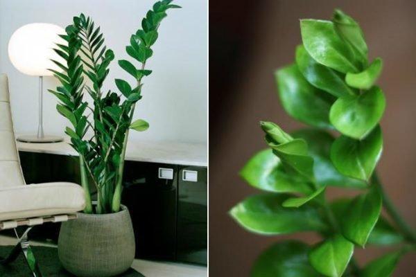 plantas-de-interior-sin-flor-zamioculca