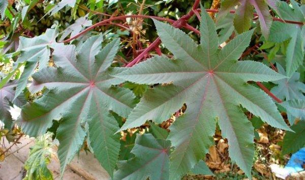 plantas-de-interior-venenosas-ricino