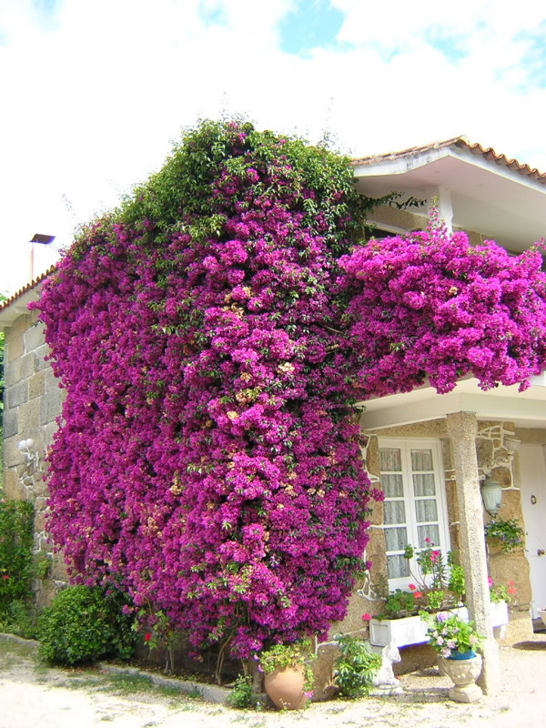 Plantas trepadoras caracter sticas generales for Plantas en macetas para exterior fotos