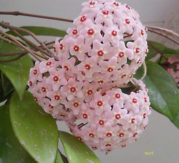 Plantas trepadoras caracter sticas generales for Arboles crecimiento rapido hoja perenne