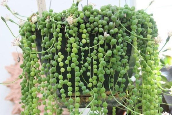 Plantas trepadoras caracter sticas generales for Plantas de interior grandes precios
