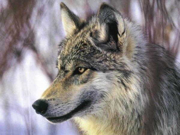 bosque-mediterraneo-fauna-lobo-iberico