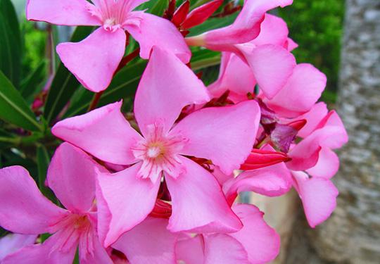 plantas-venenosas-para-gatos-que-no-debes-plantar-en-tu-jardin-adelfas