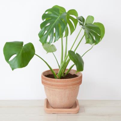 plantas-venenosas-para-gatos-que-no-debes-plantar-en-tu-jardin-costilla-de-adan