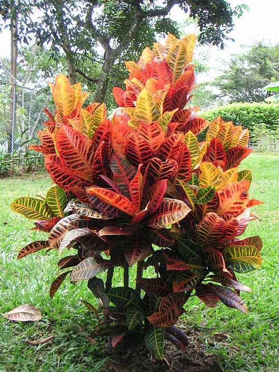 plantas-venenosas-para-gatos-que-no-debes-plantar-en-tu-jardin-croton