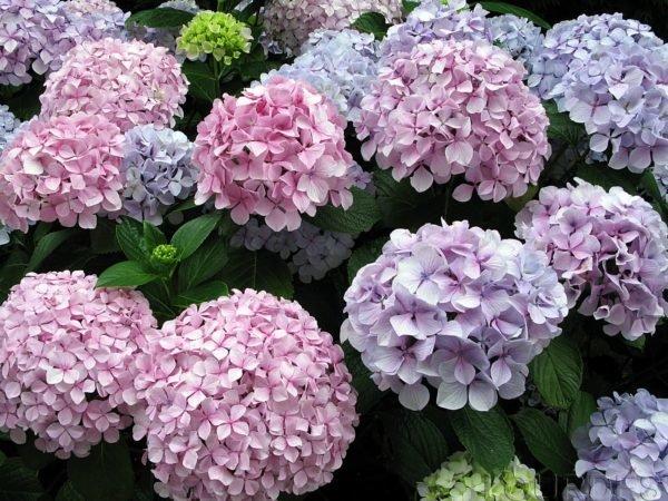 plantas-venenosas-para-gatos-que-no-debes-plantar-en-tu-jardin-hortensias