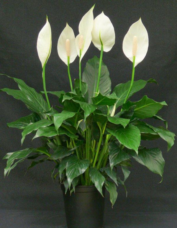 plantas-venenosas-para-gatos-que-no-debes-plantar-en-tu-jardin-lirio-de-la-paz
