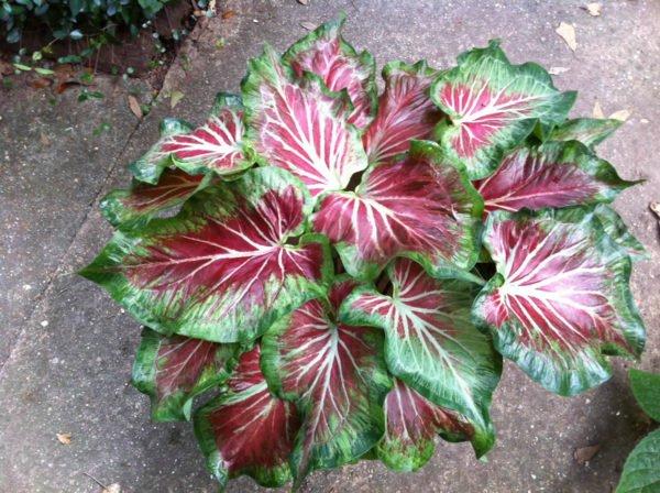 plantas-venenosas-para-perros-que-no-debes-plantar-en-tu-jardin-caladium