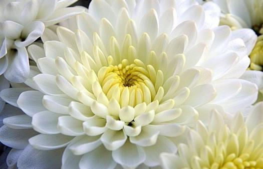 plantas-venenosas-para-perros-que-no-debes-plantar-en-tu-jardin-crisantemo