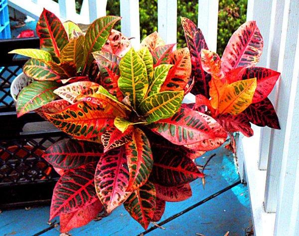plantas-venenosas-para-perros-que-no-debes-plantar-en-tu-jardin-croton