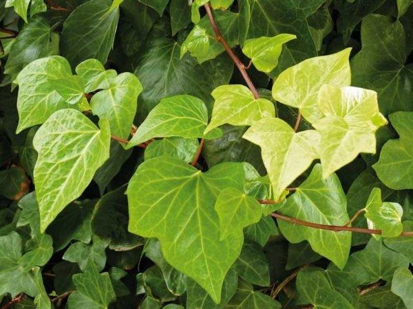 Plantas venenosas para perros que no debes plantar en el - Plantas venenosas de interior ...