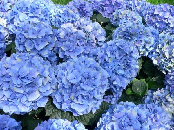 plantas-venenosas-para-perros-que-no-debes-plantar-en-tu-jardin-hortensia