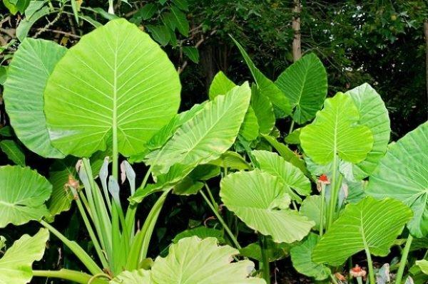 plantas-venenosas-para-perros-que-no-debes-plantar-en-tu-jardin-oreja-elefante