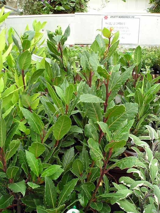 Plantas venenosas para gatos que no debes plantar en tu jard n - Laurel de jardin ...
