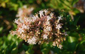 Abelia, Arbustos