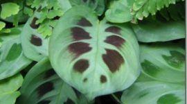 Plantas de interior | Maranta