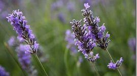 Tipos de plantas | Aromaticas y medicinales