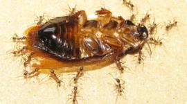Hormigas usan rastros químicos para pedir ayuda