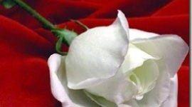 Los colores de las rosas | Rosas blancas