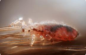 Nanotecnología contra los piojos