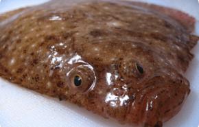 El misterio evolutivo de los peces planos resuelto