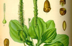 Planta medicinal: Llantén