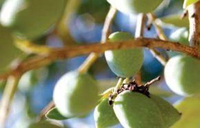 El olivo y su poda