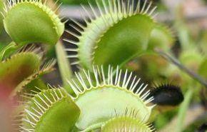 Plantas carnívoras: Hibernación