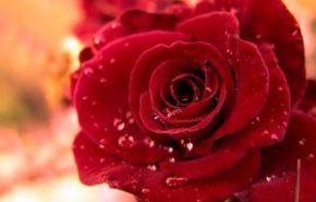 Cómo podar un rosal