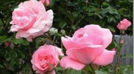 Rosas | Consejos (segunda parte)