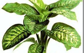 Plantas de interior   Difenbaquia