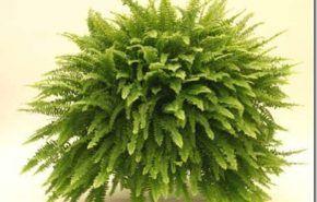 Plantas de interior | Helecho