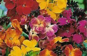 Alelíes para perfumar nuestro jardín