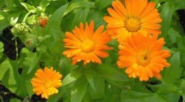 La caléndula como planta medicinal