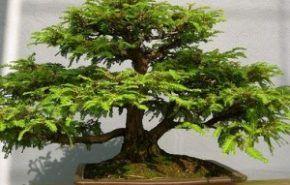 Fotos de jardines - Como cuidar un bonsai ...
