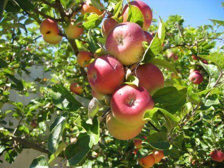Los cuidados del manzano
