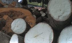 Yuca, entre el alimento y la ornamentación