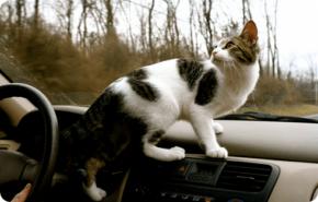 ¿Por qué los gatos odian viajar en coche?