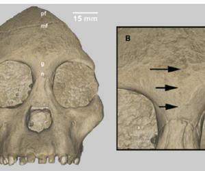 Triceratops, ¿no existió nunca?