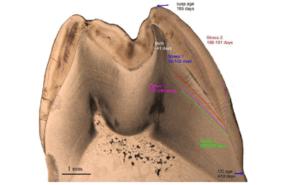 ¿Cuánto amamantaban los neandertales a sus niños?