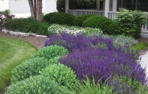 Arbustos de jardín con flores azules