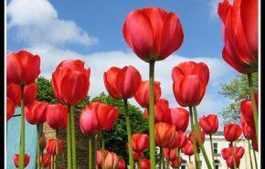 Tulipanes. Parte I