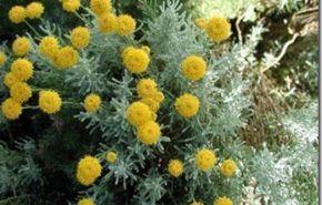 Arbustos | Santolina