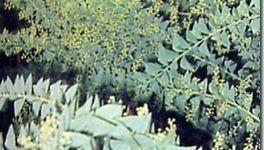 Arbustos | Acacia Wattle